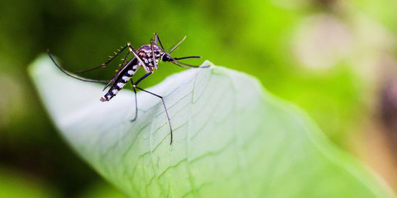 Will green infrastructure breed mosquitoes?